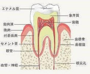 健康な歯は、根の周りが骨でしっかりと支えられています