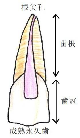 成熟永久歯